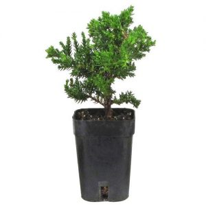 Starter Japanes Juniper Bonsai Tree