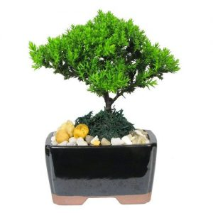 Mini Japanese Juniper Bonsai Tree