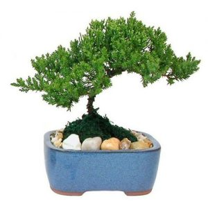 Small Japanese Juniper Bonsai