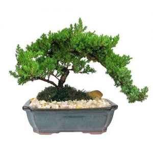 Medium Japanese Juniper Bonsai Tree
