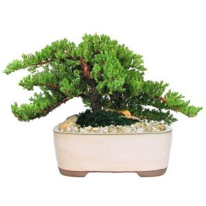 Large Japanese Juniper Bonsai Tree