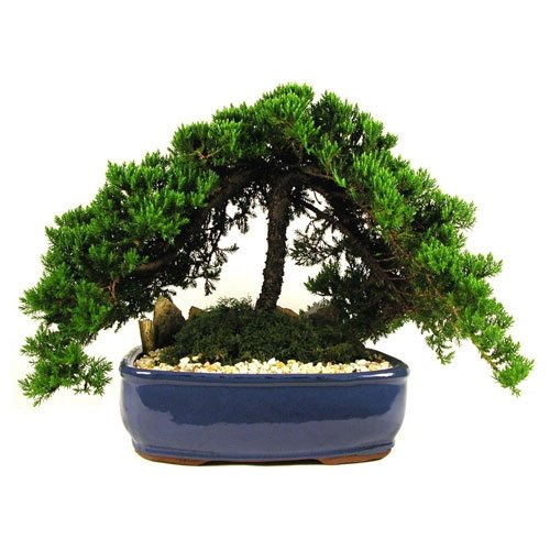 12 Ceramic Japanese Juniper Bonsai Eve S Garden Gifts