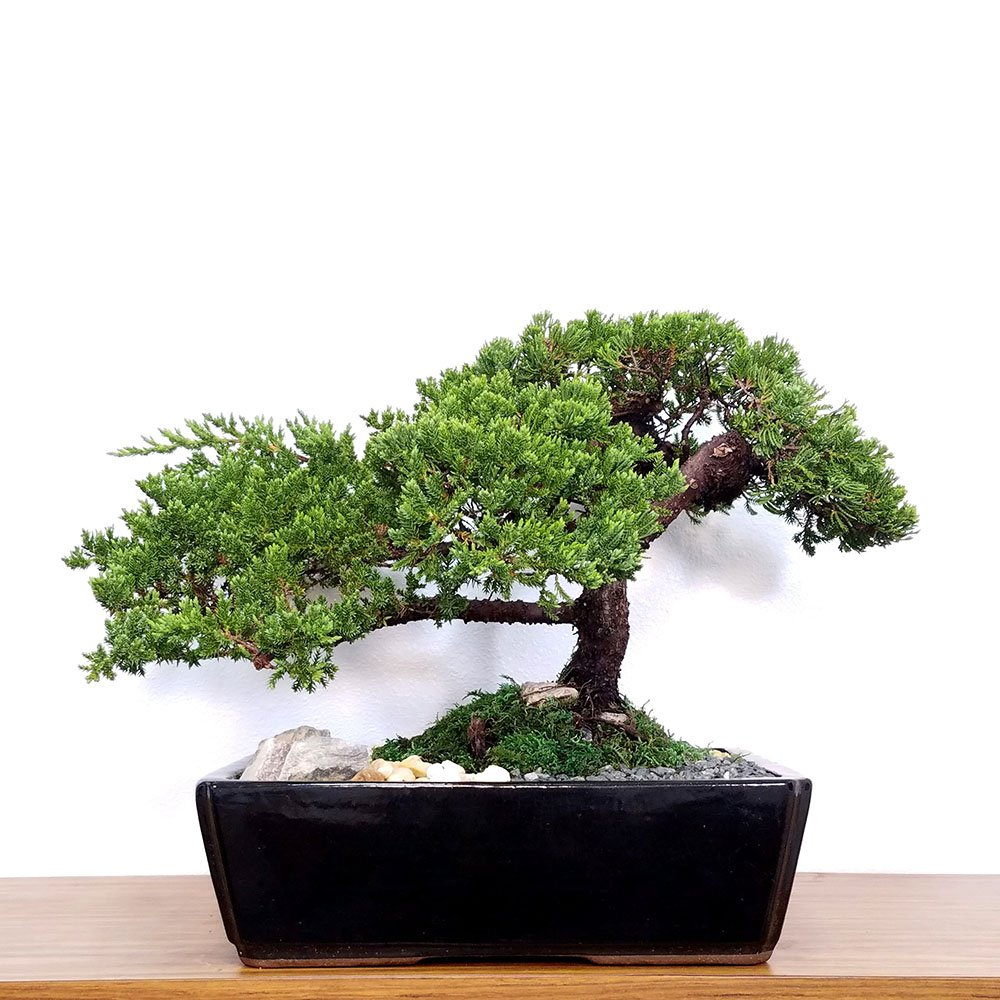 Specimen 15 Ceramic Japanese Juniper Bonsai Eve S Garden Gifts