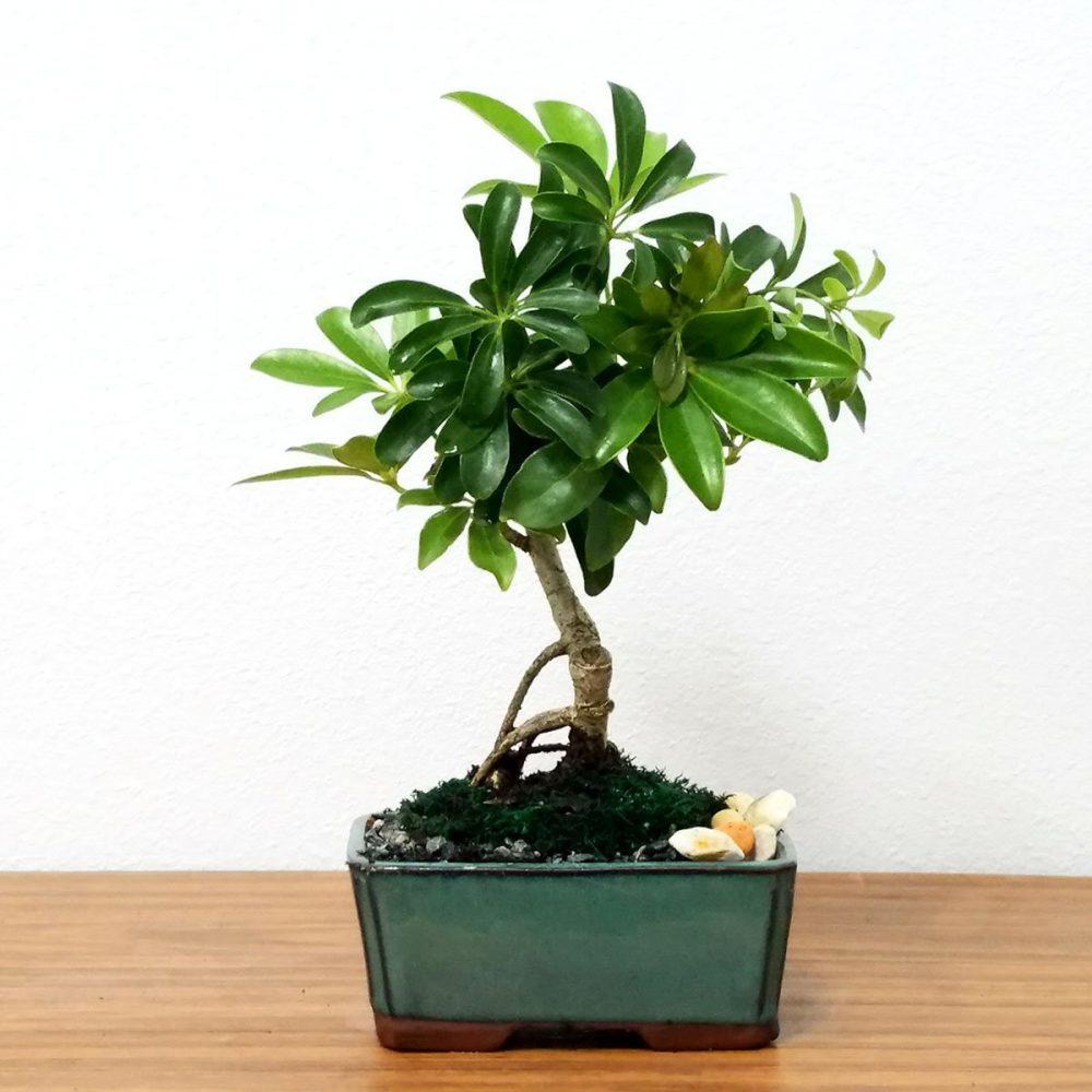 Small Schefflera Bonsai Tree