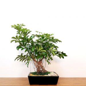 Specimen Schefflera Bonsai