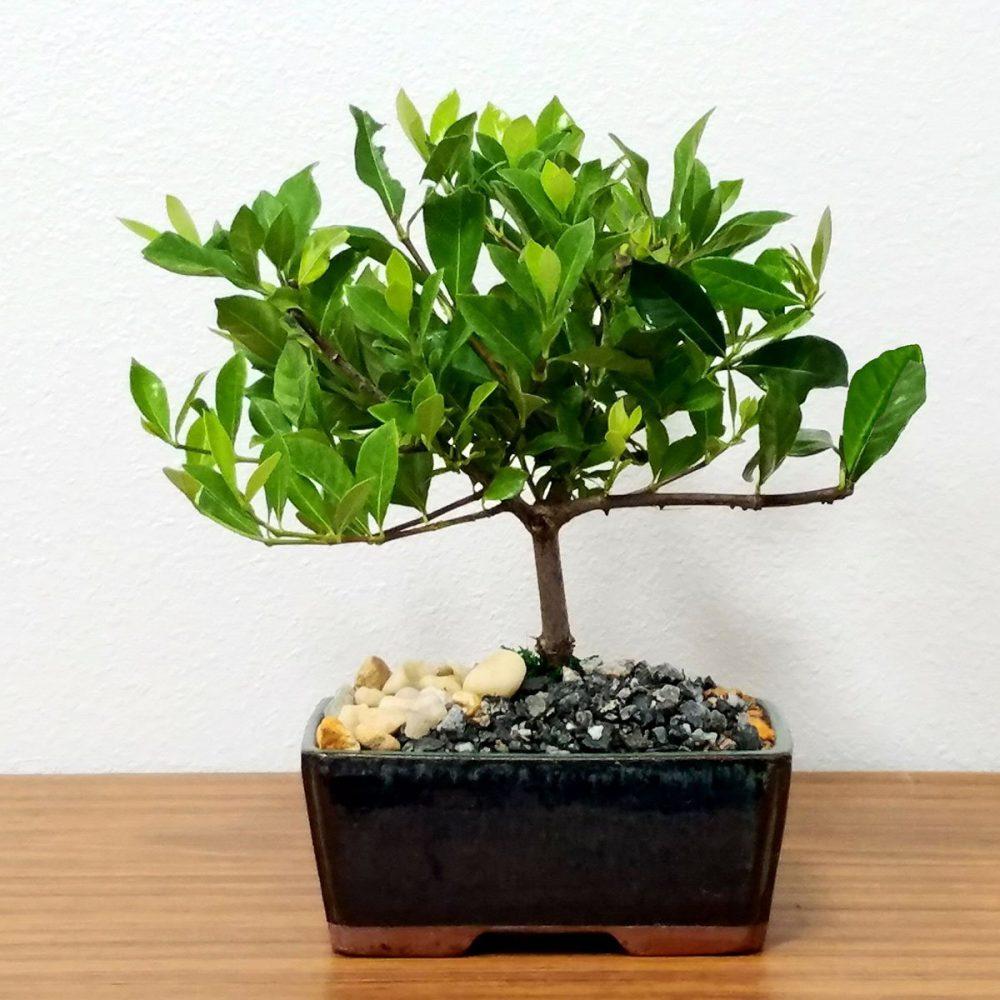 6 Ceramic Gardenia Bonsai Eve S Garden Gifts