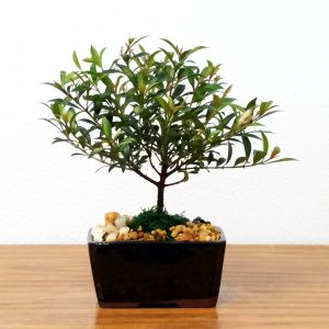 Small Cherry Blossom Bonsai Tree