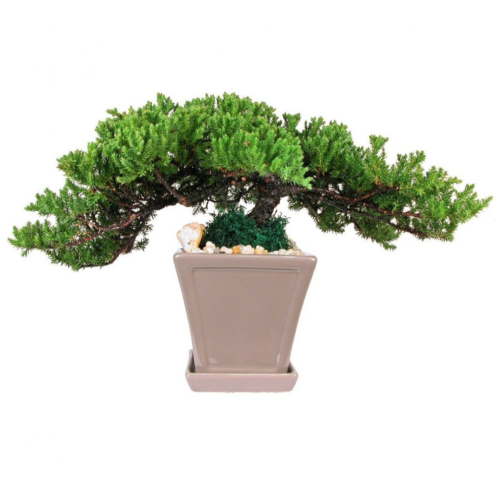 Square Pot 12 With Tray Bonsai Eve S Garden Gifts