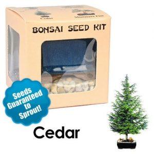 Cedar Bonsai Seed Kit