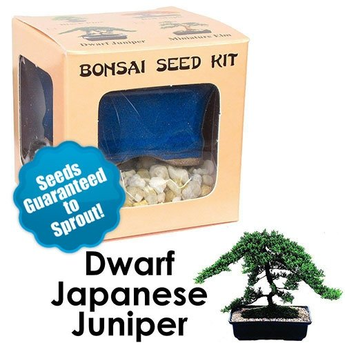 Dwarf Japanese Juniper Bonsai Seed Kit
