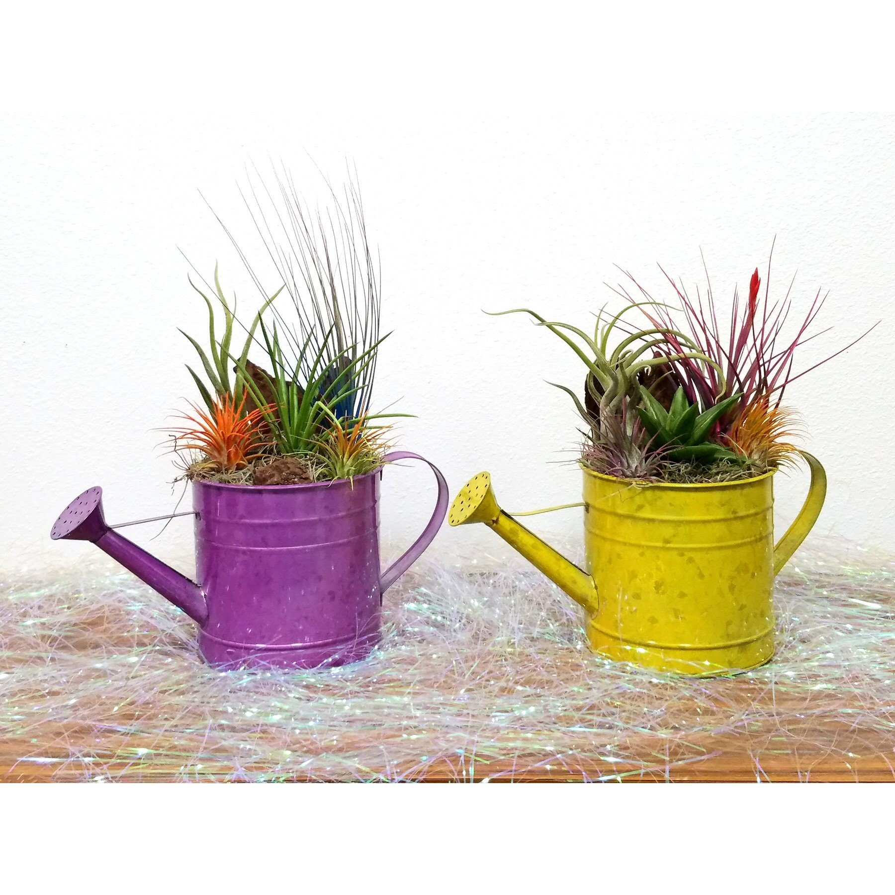 Watering Can Medium Air Plants Succulents Eve S Garden Gifts