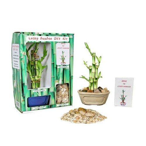 Lucky Bamboo Gift Kit
