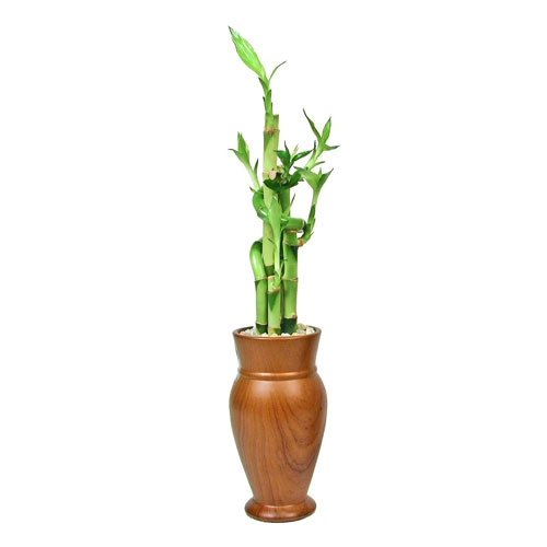 Tall Woodgrain Vase With Lucky Bamboo Eves Garden Gifts