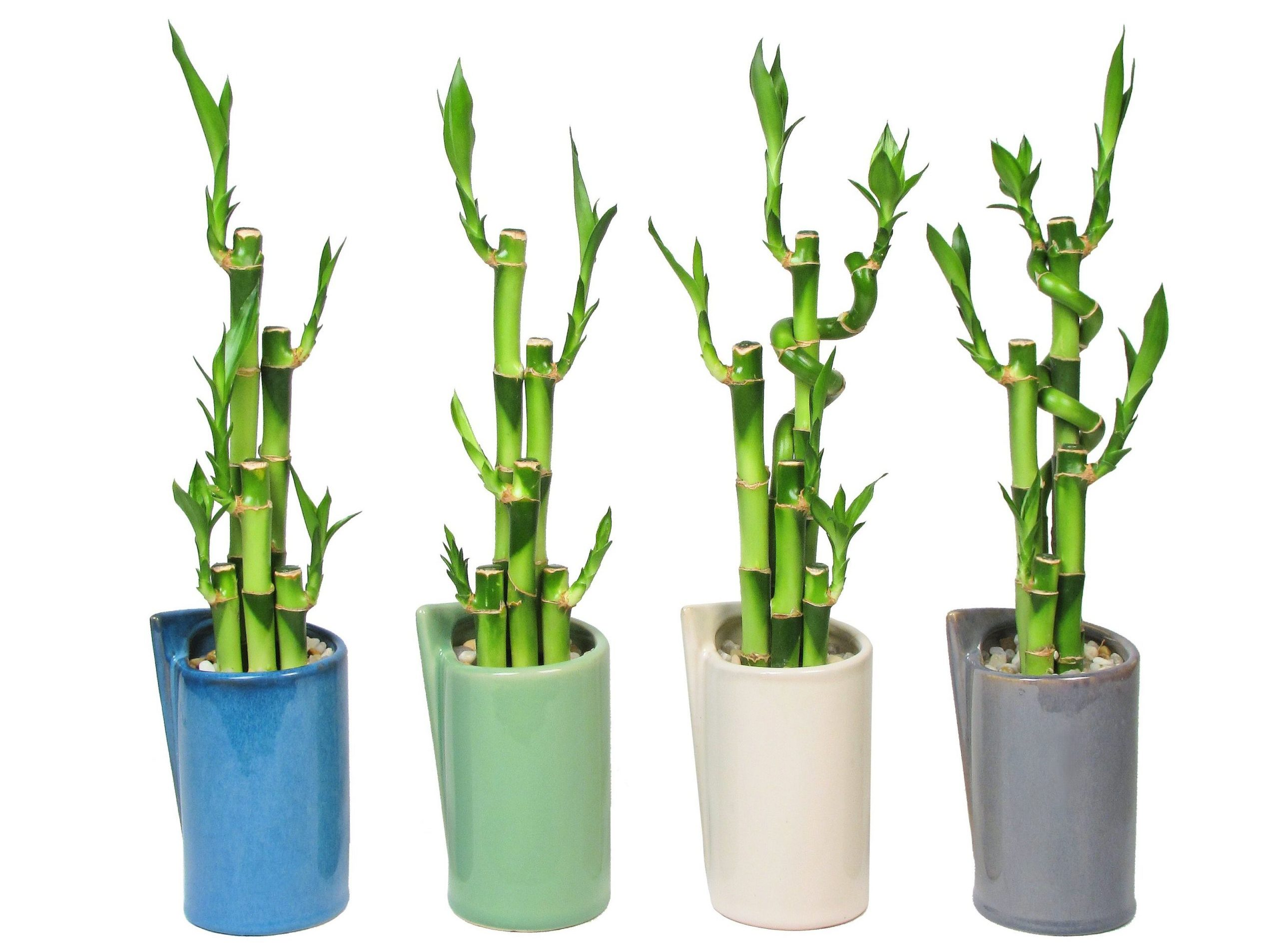 Lucky Bamboo Plant Care Eve S Garden Gifts