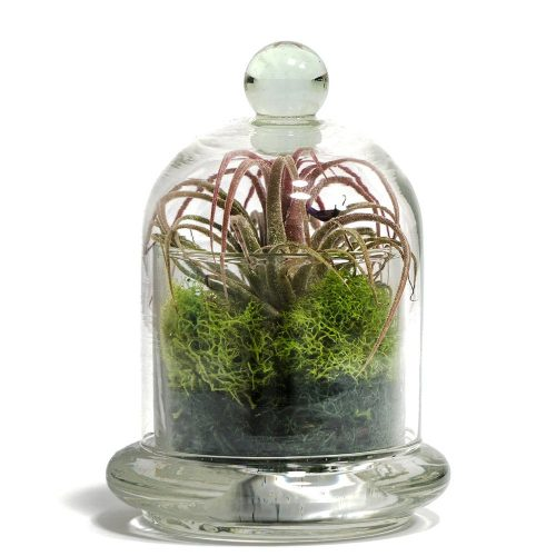"""5"""" Glass Bell Jar with Assorted Air Plants, Succulents, and Cactus"""