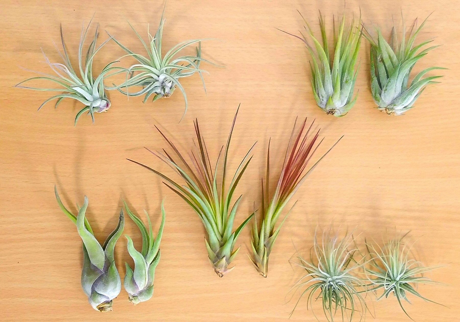 AirPlants_Assorted_022218_c_1800