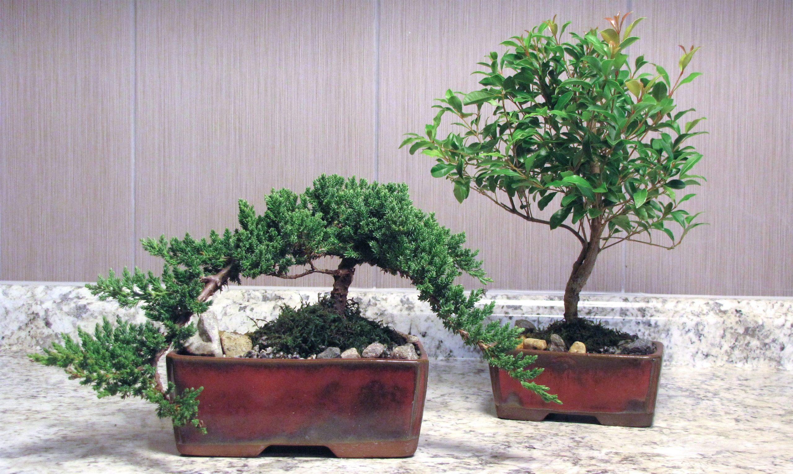 Bonsai from Eve's Garden