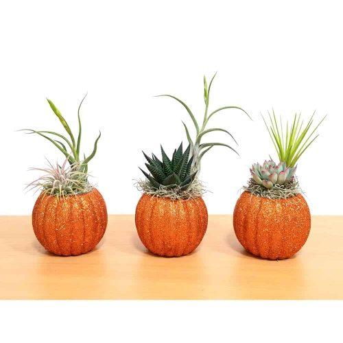 Glittering Pumpkin Air Plants Succulents Eve S Garden Gifts